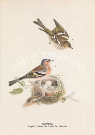 CHAFFINCH - Fringilla Coelebs, No. 1 Male, No. 2 Female